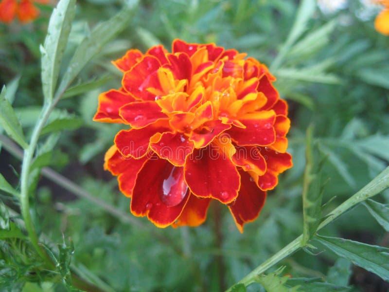 Crecimiento de flor anaranjado en el jardín fotos de archivo libres de regalías