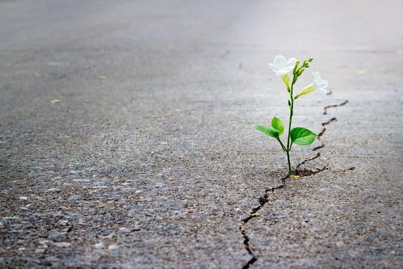 Crecimiento de flor blanca en la calle de la grieta, foco suave, texto en blanco fotos de archivo