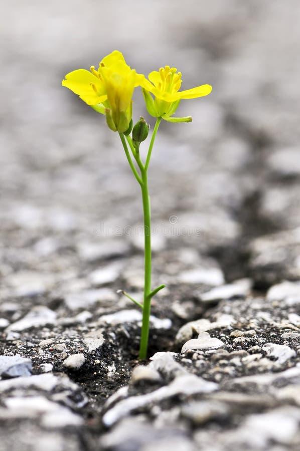 Crecimiento de flor de la grieta en asfalto imagenes de archivo