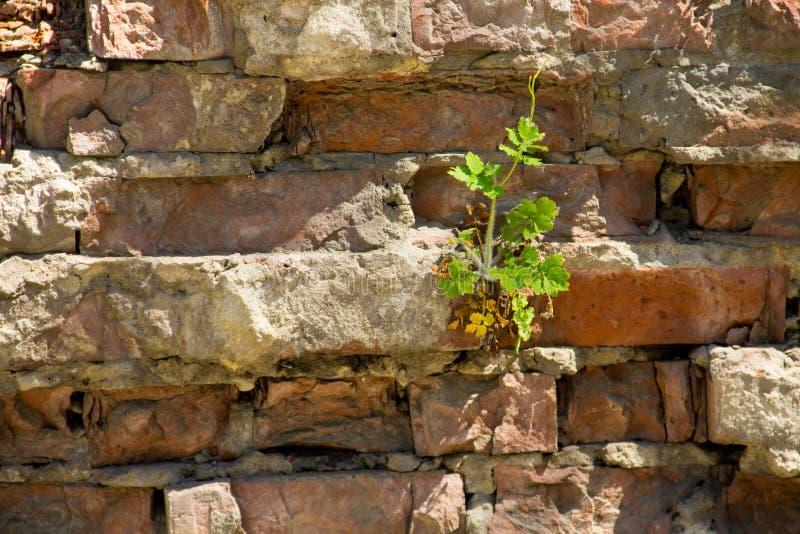 Crecimiento de flor del Celandine en pared de ladrillo roja vieja imagen de archivo