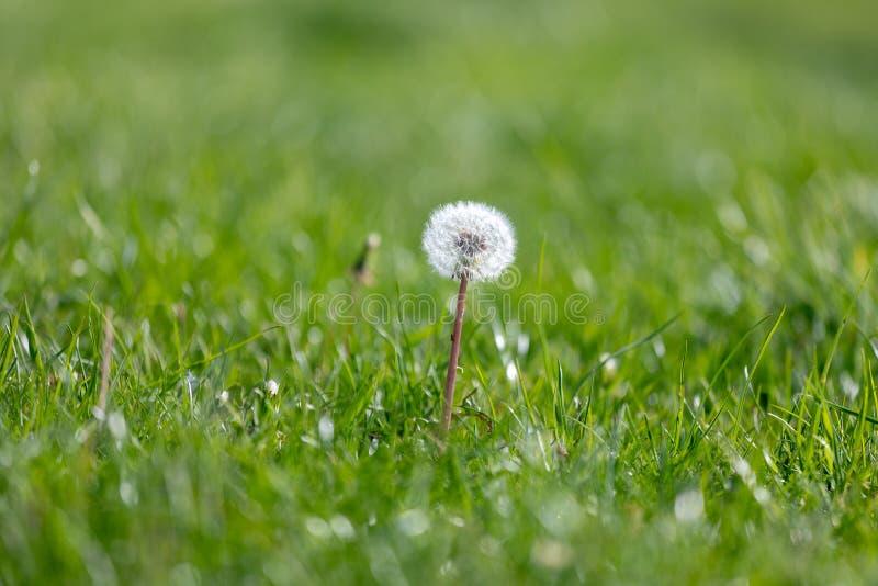 Crecimiento de flor del diente de le?n entre la hierba de la primavera, detalle macro del diente de le?n, encima del diente de le imágenes de archivo libres de regalías