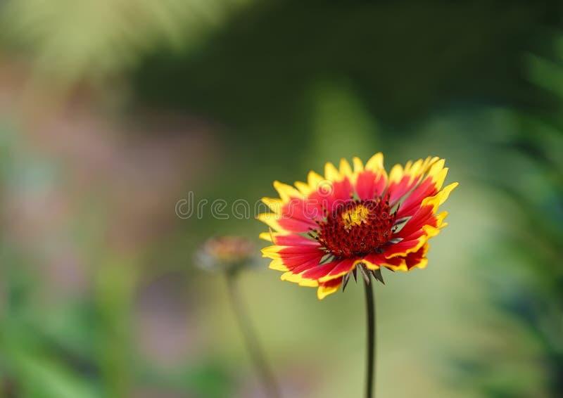 Crecimiento de flor del Gaillardia en el jardín fotos de archivo