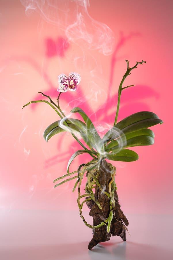 Crecimiento de flor hermoso de la orquídea en un árbol natural rodeado por la neblina foto de archivo libre de regalías