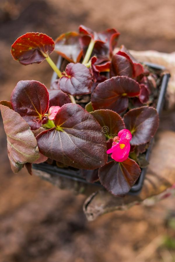 Crecimiento de flor joven en la caja El niño va a plantar esta flor Primer de manos y de una flor creciente Verde imagen de archivo
