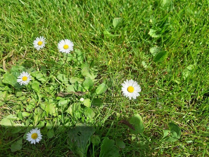 Crecimiento de flor de la margarita blanca en prado foto de archivo libre de regalías