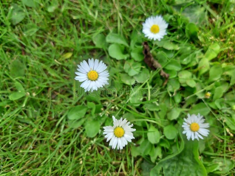 Crecimiento de flor de la margarita blanca en prado foto de archivo
