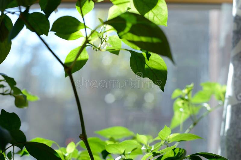 Crecimiento de flor rojo individual de la pimienta de Chile en la planta de la pimienta fotografía de archivo libre de regalías