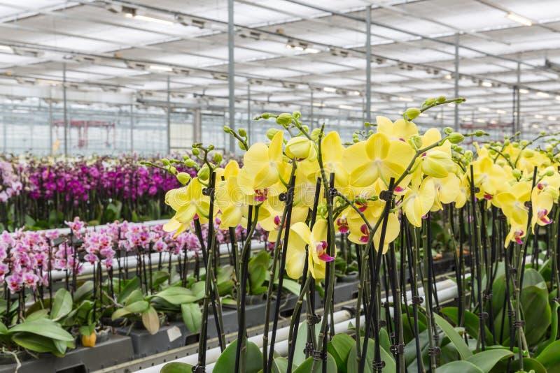 Crecimiento de flores amarillo colorido de la orquídea en un invernadero foto de archivo