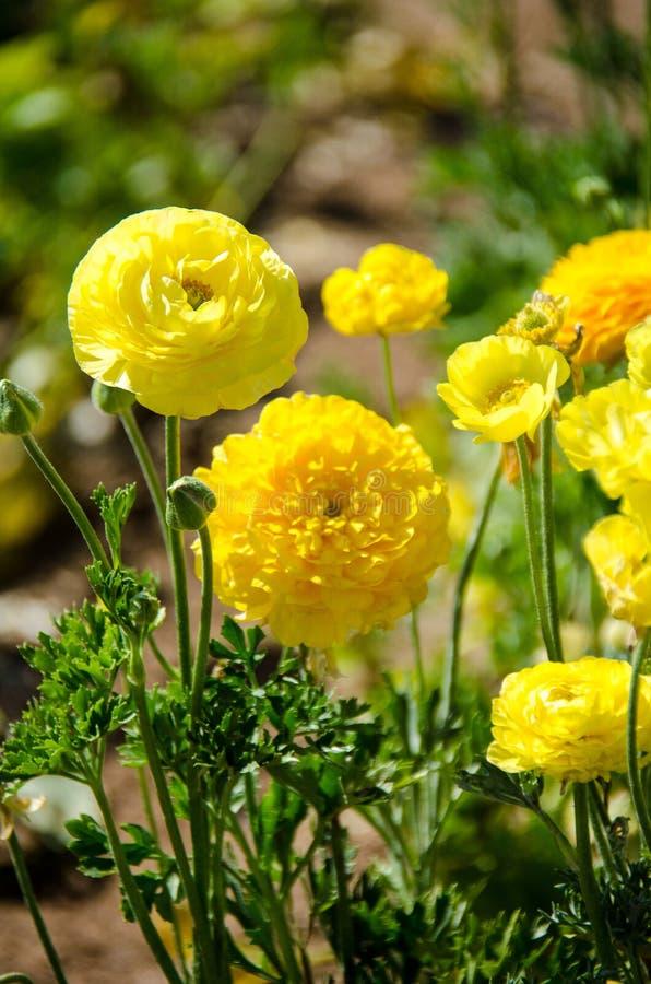 Crecimiento de flores amarillo del ranúnculo gigante en un campo en un día soleado imagen de archivo libre de regalías