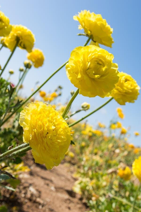 Crecimiento de flores amarillo del ranúnculo gigante en un campo en un día soleado fotos de archivo libres de regalías