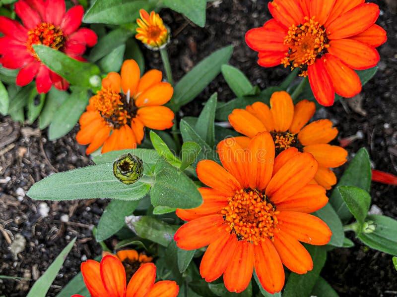 Crecimiento de flores anaranjado múltiple en jardín de flores fotos de archivo libres de regalías