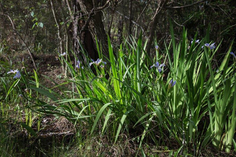 Crecimiento de flores azul del iris de Luisiana salvaje a lo largo del camino del pantano fotos de archivo
