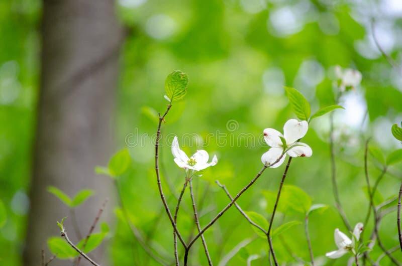 Crecimiento de flores blancas durante la primavera fotografía de archivo