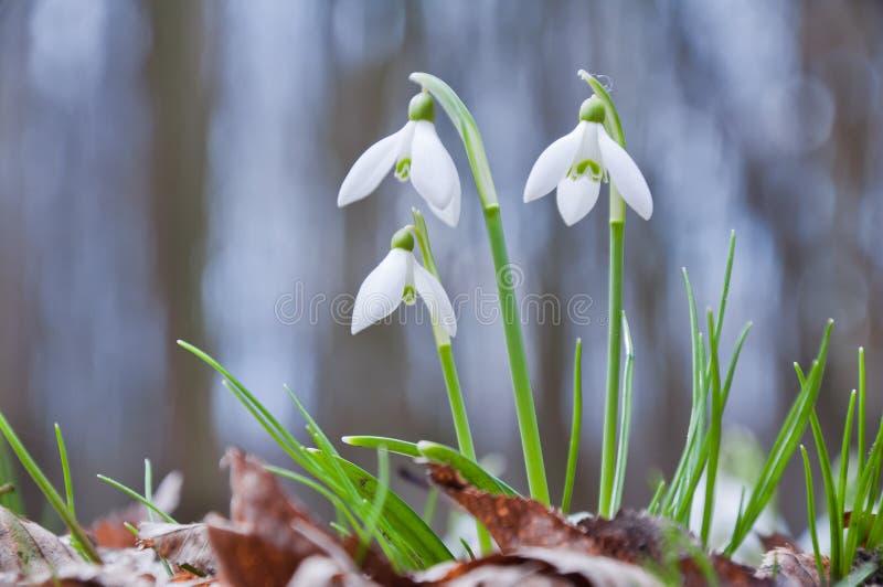Crecimiento de flores blanco hermoso del snowdrop en el bosque foto de archivo