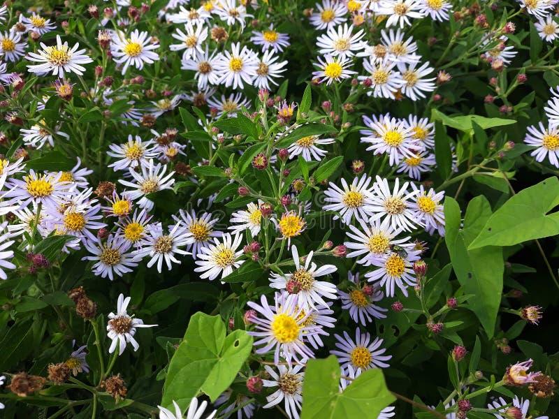 Crecimiento de flores blanco melenudo del pilosum de Symphyotrichum del aster de Oldfield en el jard fotografía de archivo libre de regalías