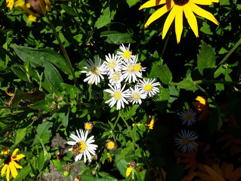 Crecimiento de flores blanco melenudo del pilosum de Symphyotrichum del aster de Oldfield en el jard?n imagen de archivo libre de regalías