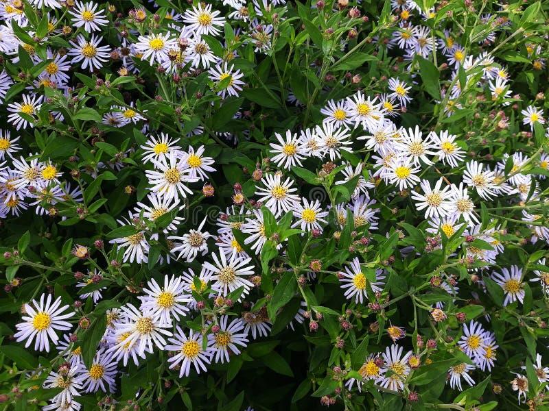 Crecimiento de flores blanco melenudo del pilosum de Symphyotrichum del aster de Oldfield en el jard?n foto de archivo libre de regalías