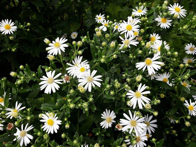 Crecimiento de flores blanco melenudo del pilosum de Symphyotrichum del aster de Oldfield en el jard?n fotografía de archivo