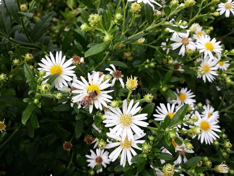 Crecimiento de flores blanco melenudo del pilosum de Symphyotrichum del aster de Oldfield en el jard?n imagenes de archivo