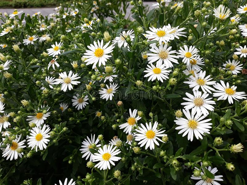 Crecimiento de flores blanco melenudo del pilosum de Symphyotrichum del aster de Oldfield en el jard?n foto de archivo