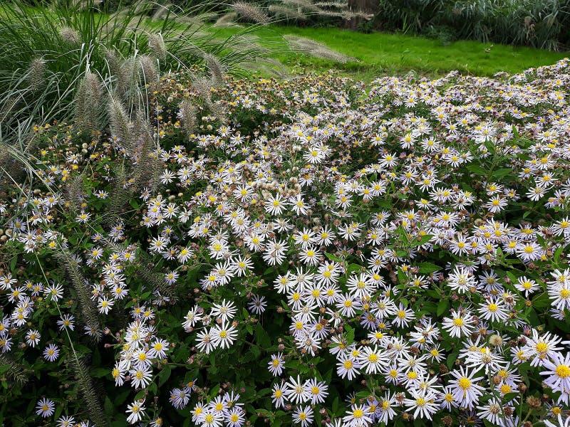Crecimiento de flores blanco melenudo del pilosum de Symphyotrichum del aster de Oldfield en el jard?n imágenes de archivo libres de regalías