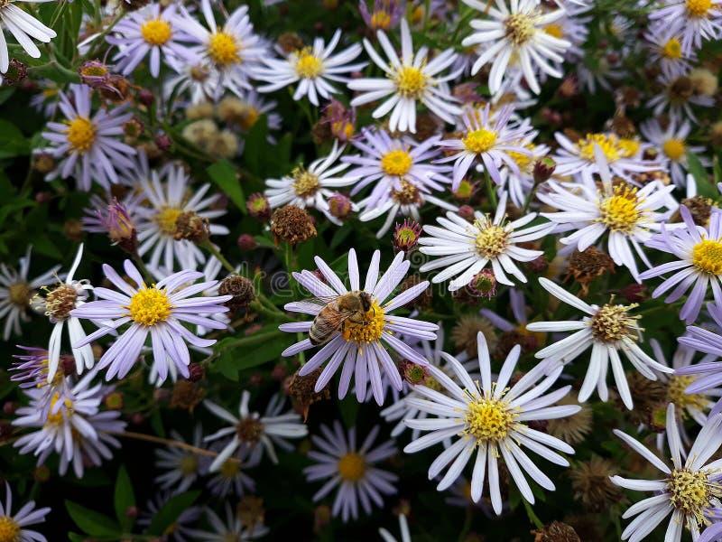 Crecimiento de flores blanco melenudo del pilosum de Symphyotrichum del aster de Oldfield en el jard?n fotografía de archivo libre de regalías
