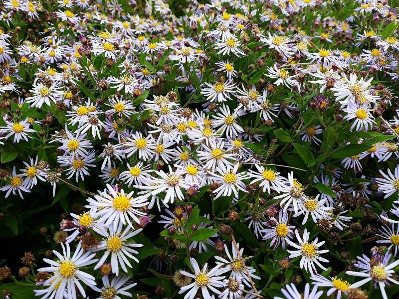 Crecimiento de flores blanco melenudo del pilosum de Symphyotrichum del aster de Oldfield en el jard?n fotos de archivo libres de regalías