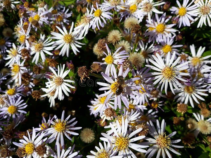 Crecimiento de flores blanco melenudo del pilosum de Symphyotrichum del aster de Oldfield en el jard?n imagen de archivo
