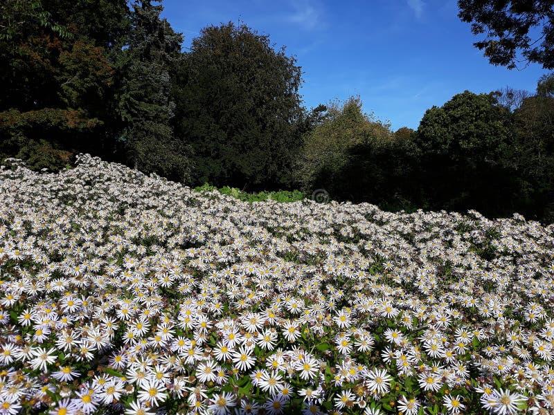 Crecimiento de flores blanco melenudo del pilosum de Symphyotrichum del aster de Oldfield en el jard?n fotos de archivo