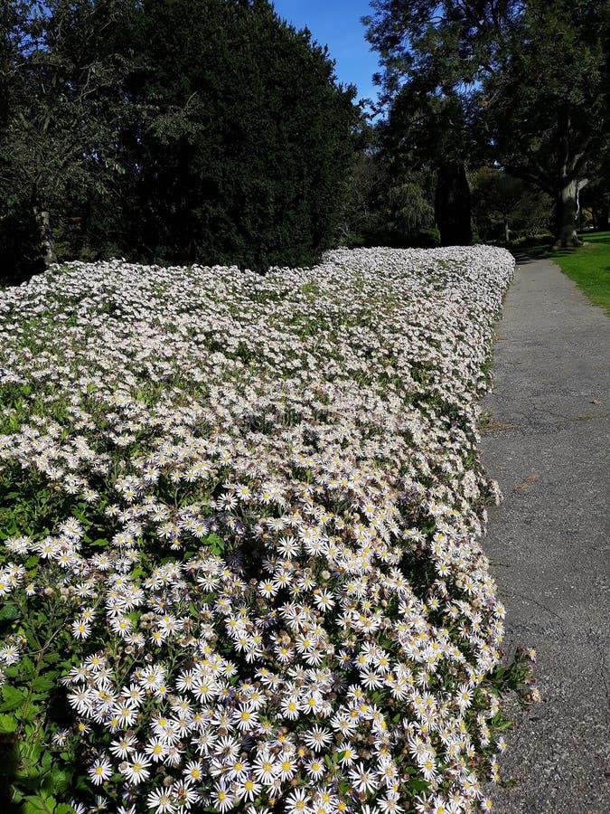 Crecimiento de flores blanco melenudo del pilosum de Symphyotrichum del aster de Oldfield en el parque fotos de archivo