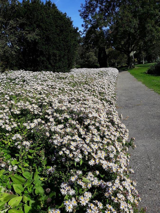 Crecimiento de flores blanco melenudo del pilosum de Symphyotrichum del aster de Oldfield en el parque fotos de archivo libres de regalías