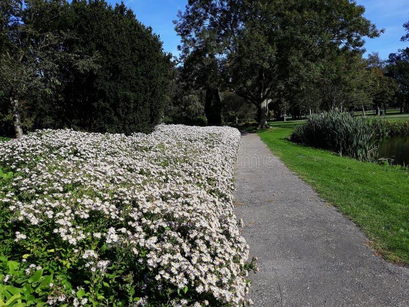 Crecimiento de flores blanco melenudo del pilosum de Symphyotrichum del aster de Oldfield en el parque imagenes de archivo