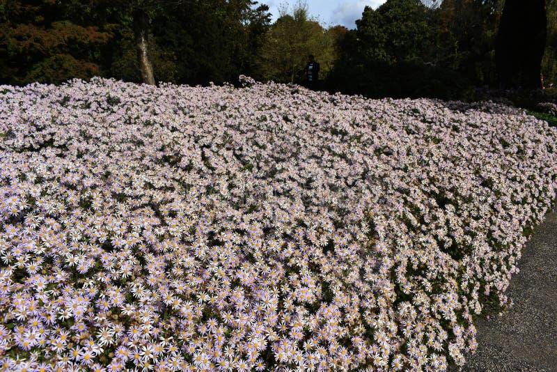 Crecimiento de flores blanco melenudo del pilosum de Symphyotrichum del aster de Oldfield en el parque fotografía de archivo