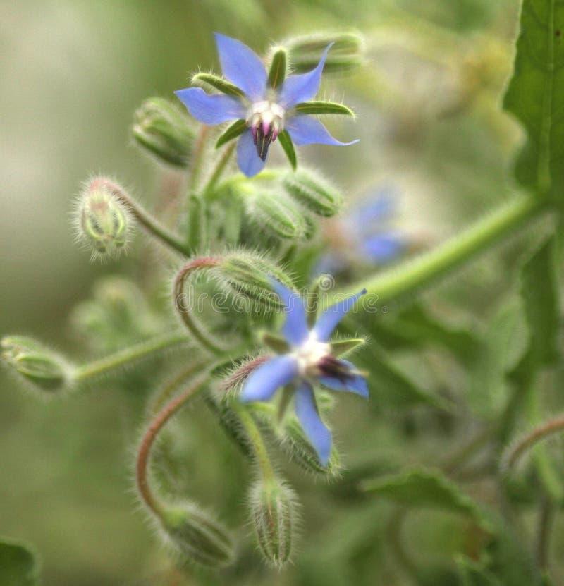 Crecimiento de flores de la borraja o del starflower en el jardín foto de archivo libre de regalías