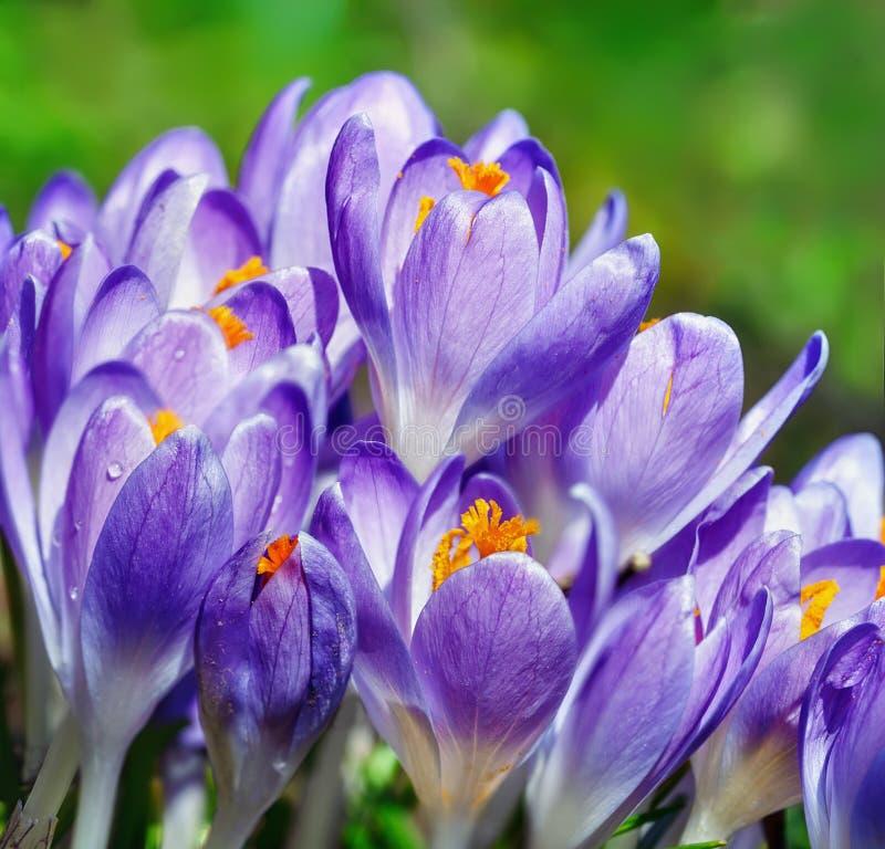Crecimiento de flores del azafrán en el jardín de la primavera imagen de archivo