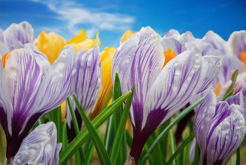 Crecimiento de flores del azafrán en el jardín de la primavera foto de archivo