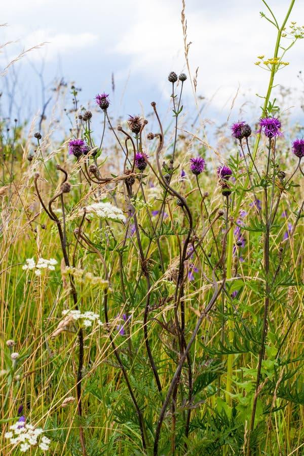 Crecimiento de flores del campo en verano en el país fotos de archivo
