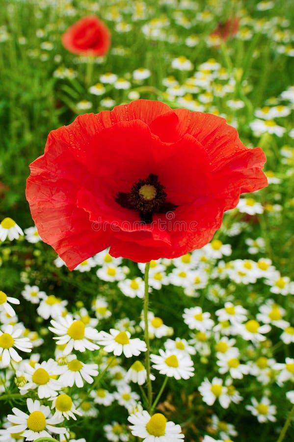 Crecimiento de flores rojo del Papaver y de la manzanilla de la amapola de maíz en prado colorido en campo Campo de la primavera  fotos de archivo