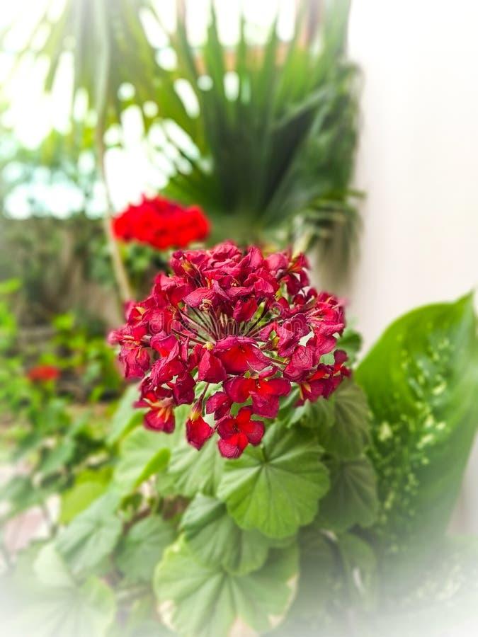 Crecimiento de flores rojo junto en jardín fotos de archivo