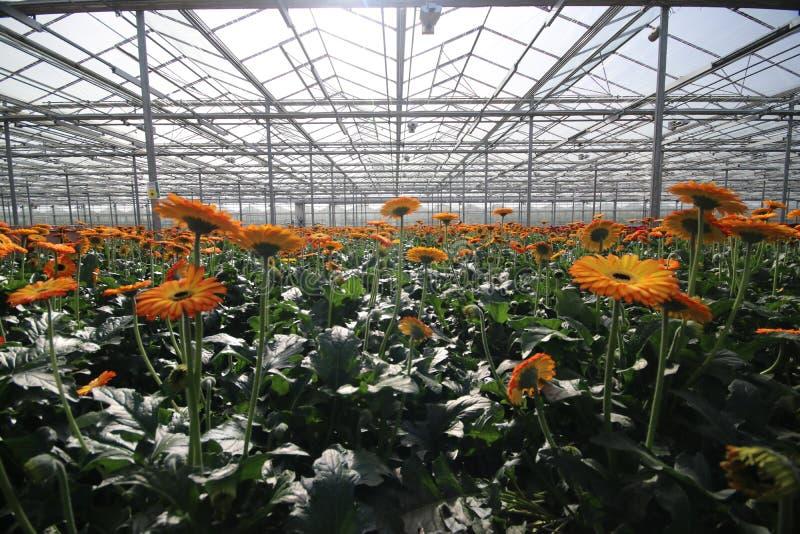 Crecimiento de flores rojo y amarillo del gerbara en un cuarto de niños del invernadero en la guarida aan IJssel de Nieuwerkerk e foto de archivo