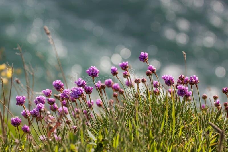 Crecimiento de flores violeta salvaje en el acantilado imagenes de archivo