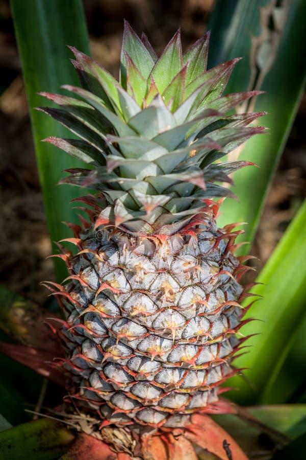 Crecimiento de fruta tropical de la piña en una naturaleza Granja de la plantación de las piñas foto de archivo