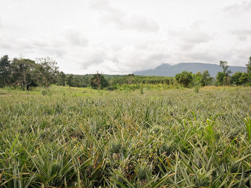 Crecimiento de fruta tropical joven orgánico de la piña de la granja de la piña en campo foto de archivo