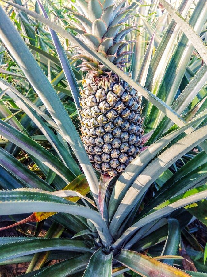 Crecimiento de fruta tropical de la pi?a en una granja fotografía de archivo