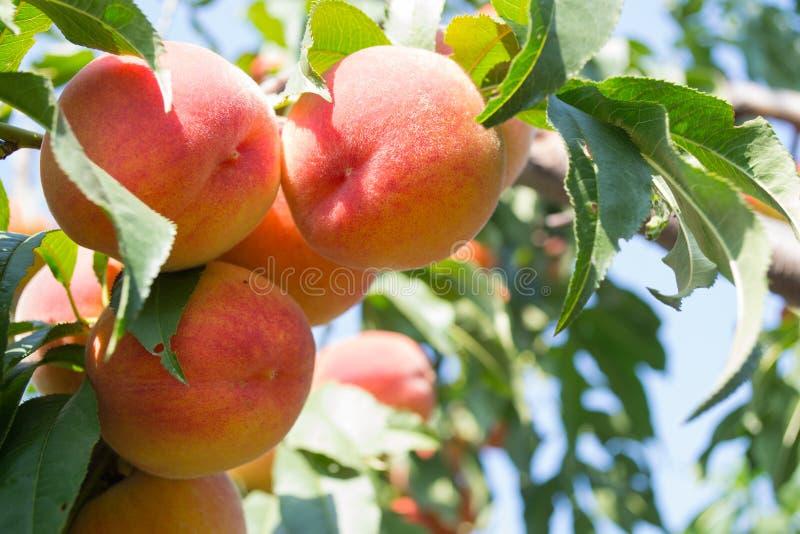 Crecimiento de frutas dulce del melocotón en una rama de árbol de melocotón foto de archivo libre de regalías
