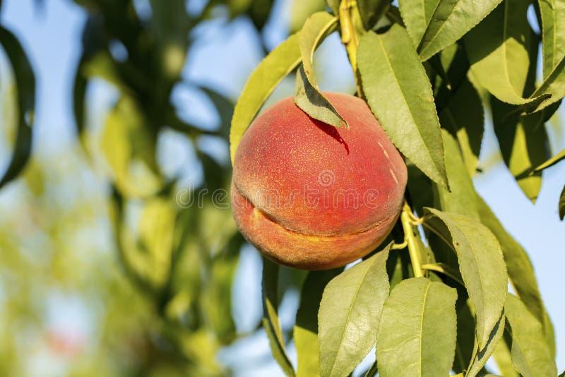 Crecimiento de frutas dulce del melocotón en una rama de árbol de melocotón imagen de archivo