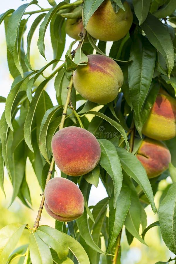 Crecimiento de frutas dulce del melocotón en una rama de árbol de melocotón fotos de archivo libres de regalías
