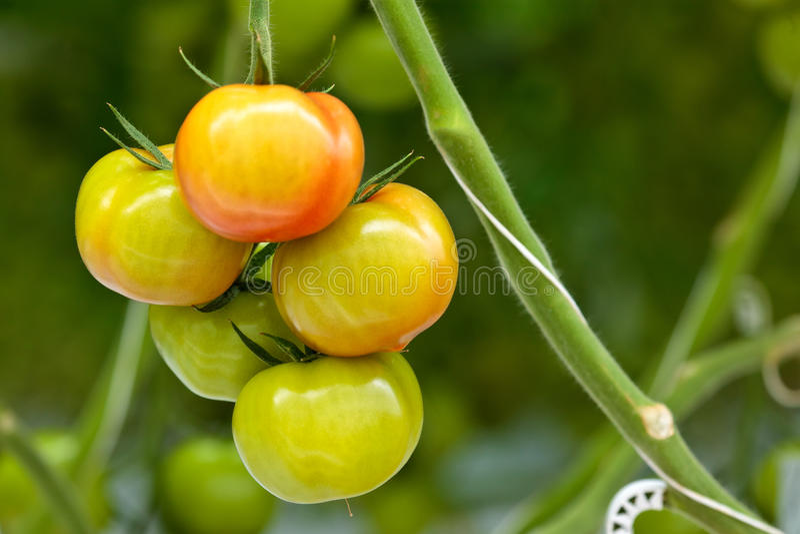 Crecimiento de las plantas de tomate dentro de un invernadero imagen de archivo libre de regalías