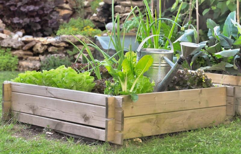 Crecimiento de verduras en un pequeño remiendo vegetal foto de archivo