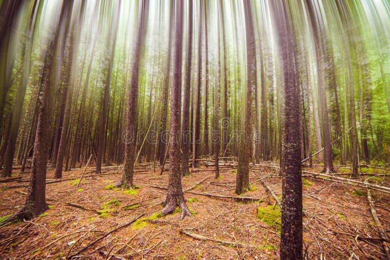 Crecimiento del bosque con las copas de la falta de definición de movimiento foto de archivo libre de regalías